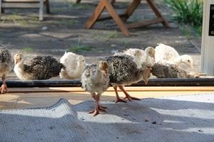 turkeys coming inside