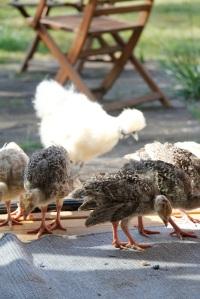 turkeys in the doorway