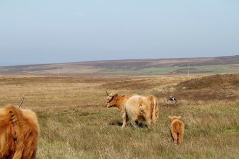 cows and man with dog
