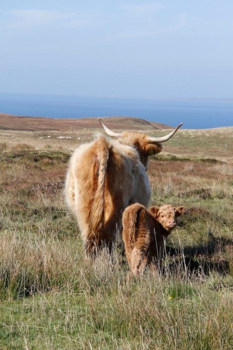 cute calf2