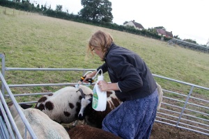 Me drenching the sheep to prevent flystrike in my nice skirt (!) just after the dry run with the pigs and the trailer