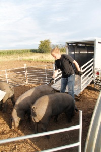 Slap marking the piggies while they eat apples