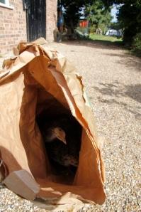 turkeys in feedbag
