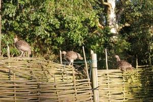 turkeys on the fence