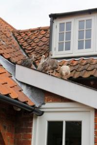 turkeys on the roof