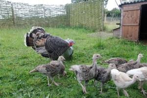 turkeys8