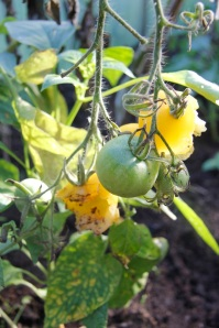 Who is eating my tomatoes?