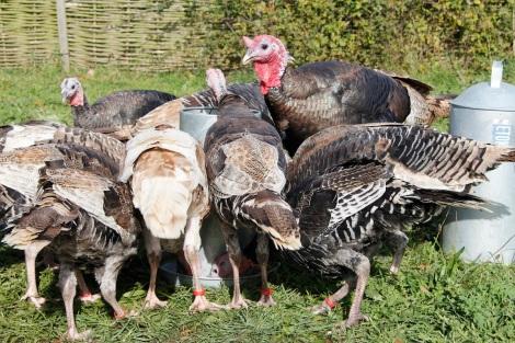 ringed turkeys
