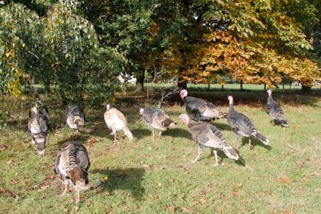 turkeys4