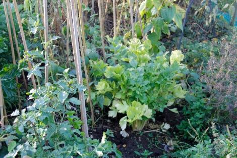 We still have some celery