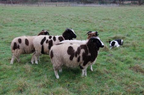 Daisy and sheep2