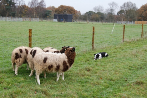 Daisy and sheep3
