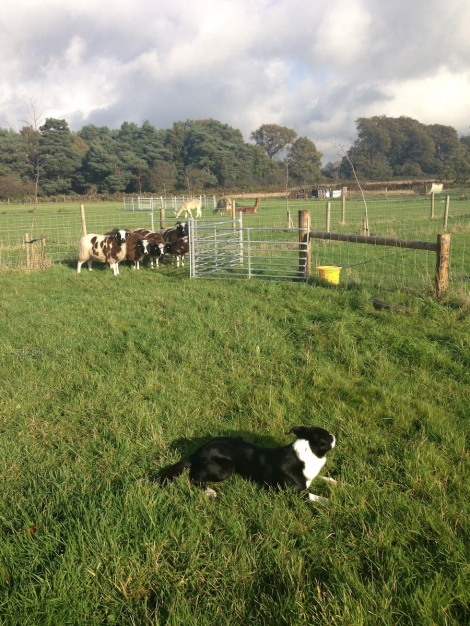 Kainaat practising his 'downs' with the sheep