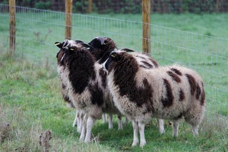 new sheep4