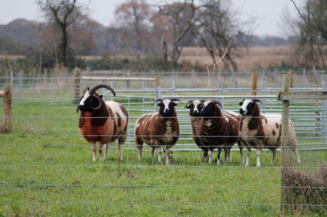 Ram and ewes2