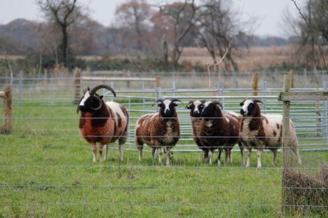 Ram and ewes2