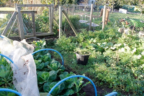 Spring Cabbages, Squash. Parsley