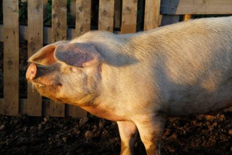 pigs2