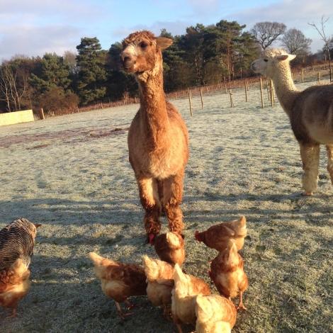 alpacas and hens