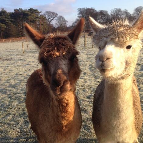 alpacas - hello
