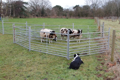 You have to keep a close eye on the sheep as you never know what they might suddenly do!