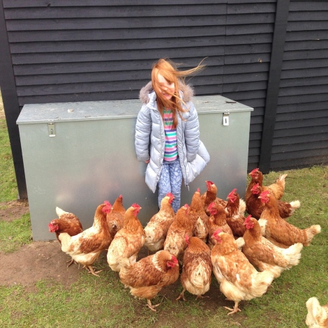 mobbed by hens