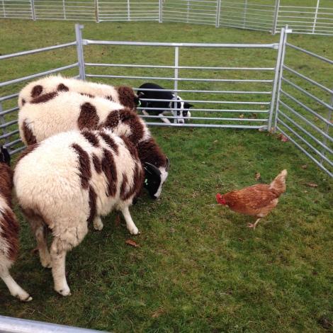 sheep hearding chicken