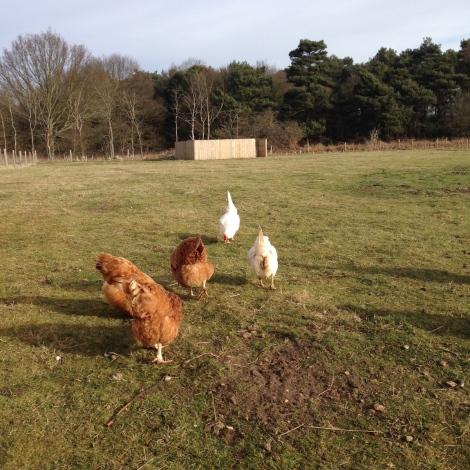 freeranging hens2
