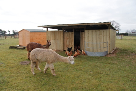 hens and alpacas reunited