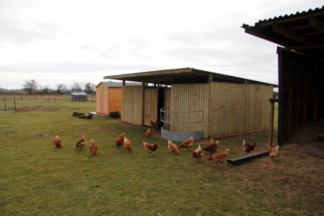 hens and new house