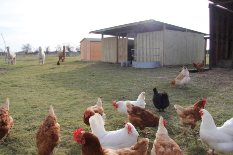 hens and new shelter