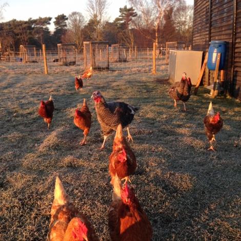 morning chickens