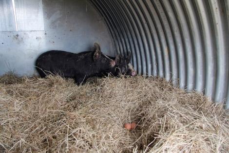 Piggies and eggs