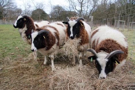 sheep eating hay2
