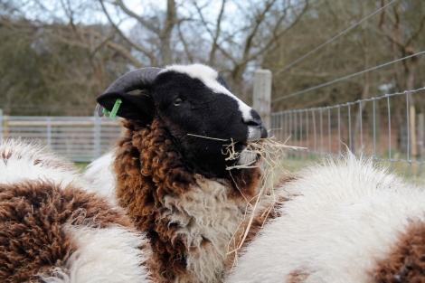 sheep eating hay3