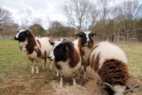 sheep eating hay4