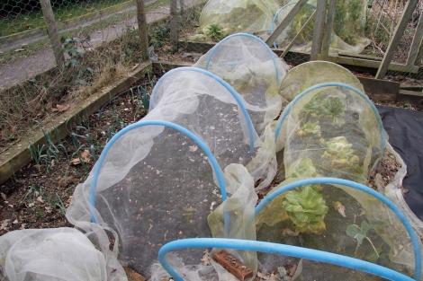 leeks, garlic, spring cabbage