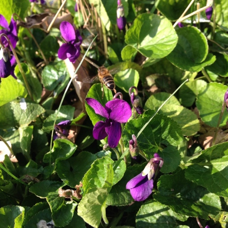 violets and bees