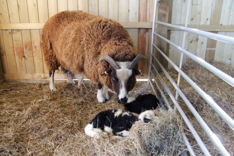 Bobtail and lambs2