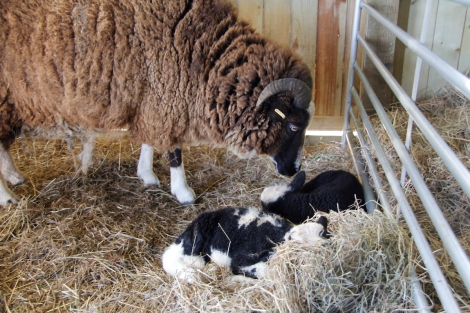 Bobtail and lambs3