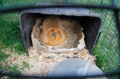 Broody silkie in her bed