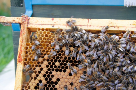 closeup of bees and frame