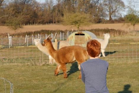 feeding alpacas4