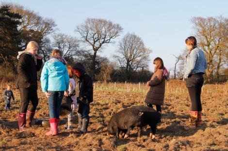 feeding pigs2
