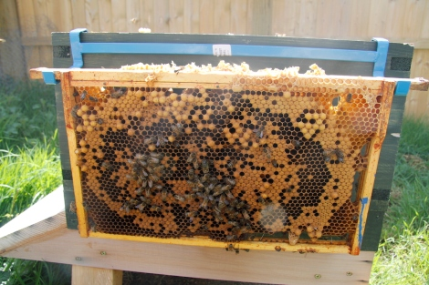 frame with Queen cell, drone and capped brood