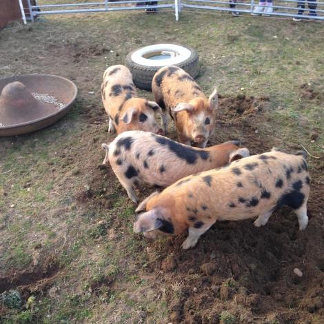 new piggies2