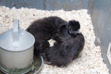 Silkie and chick in wings