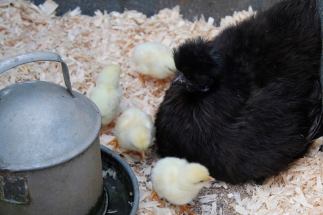 silkie and chicks
