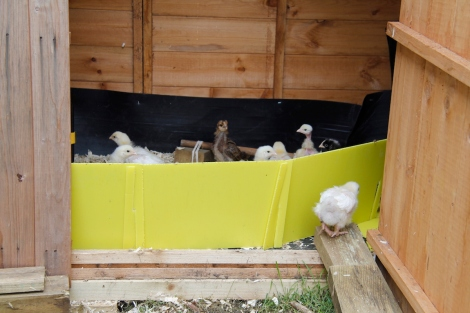 chicks in expanded home
