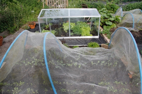 cold frame and beetroot